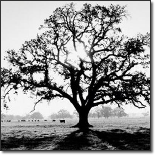 Oak Tree, Sunrise by Ansel Adams